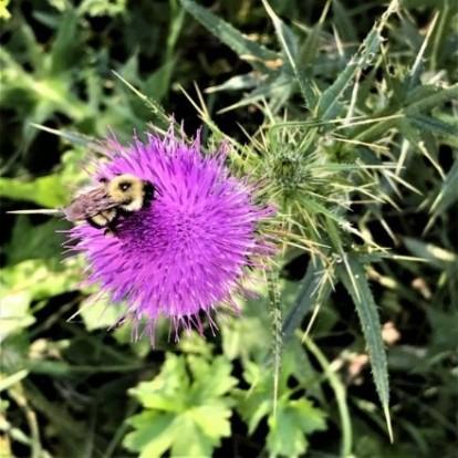 Cirsium bee