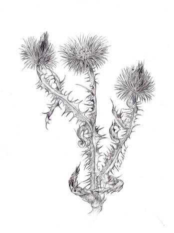 Cirsium smaller