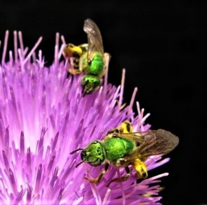 Cirsium sweat bee