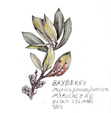 Bayberry drawing