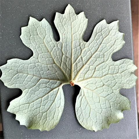 Blood leaf1 ps