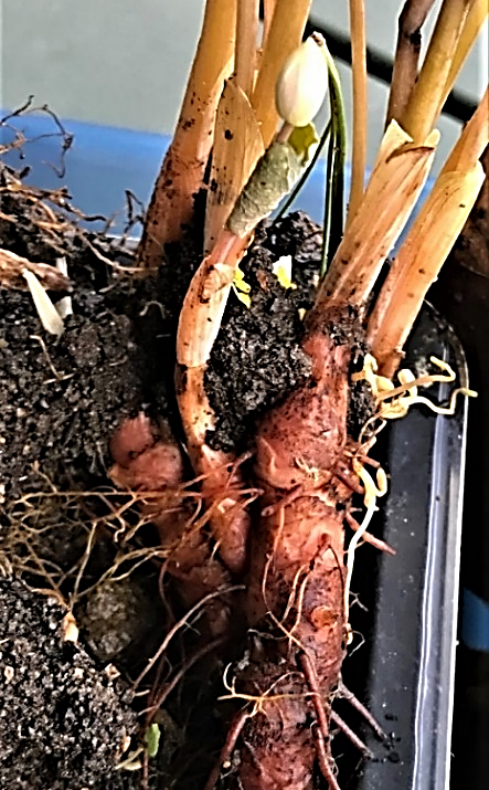 Blood rhizome big