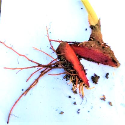 Blood rhizome sq