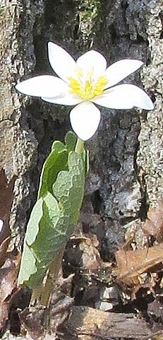 Blood single flower1