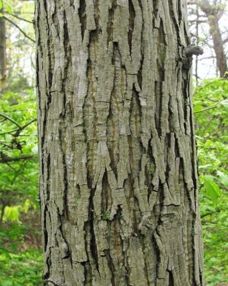 Carya bark1