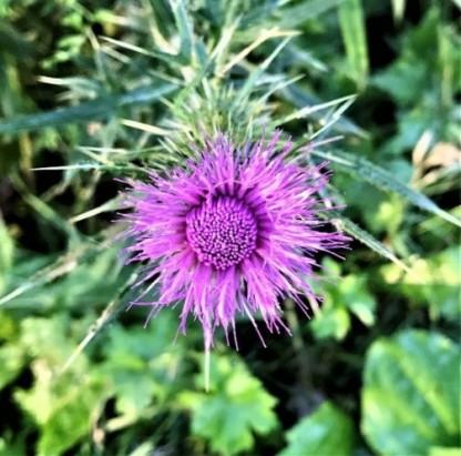 Cirsium flower2