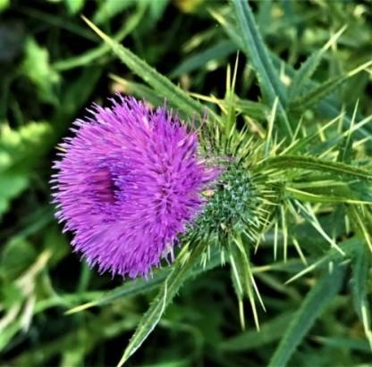 Cirsium flower3