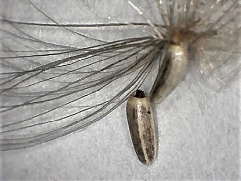 Cirsium seed