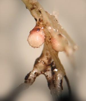 Clover nodules