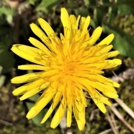 Dand flower2