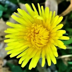 Dande flower1