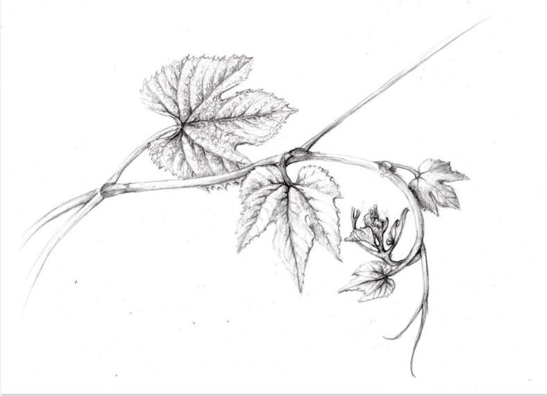 Fox Grape Drawing