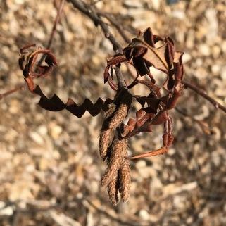 Sweet fern 3-20-19
