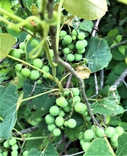 vitis fruit