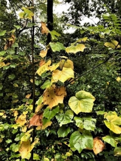 Vitis leaf color change